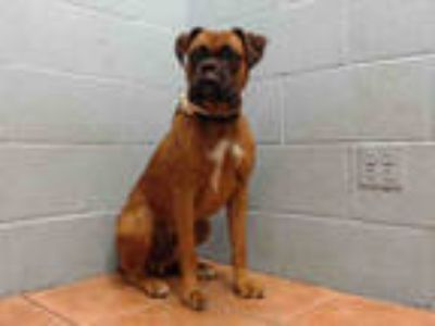 Adopt JACKSON a Red/Golden/Orange/Chestnut Boxer / Mixed dog in Downey