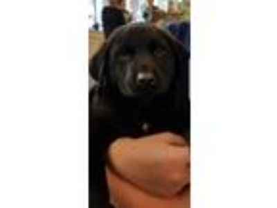 Adopt Austin a Black Labrador Retriever / Mixed dog in Pompton Lakes