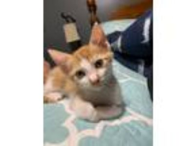 Adopt Colby a Tabby, Domestic Short Hair
