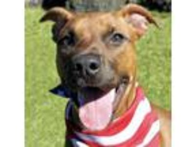 Adopt Dexter a Brown/Chocolate American Pit Bull Terrier / Mixed dog in Largo