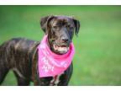 Adopt Apple a Brown/Chocolate - with Black Plott Hound / Mixed dog in Seattle