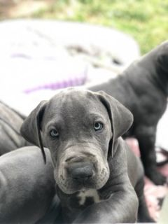 Great Dane PUPPY FOR SALE ADN-75876 - Great Dane Pups AKC Blue Champ Lines