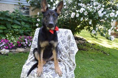 German Shepherd Dog PUPPY FOR SALE ADN-87879 - Mia