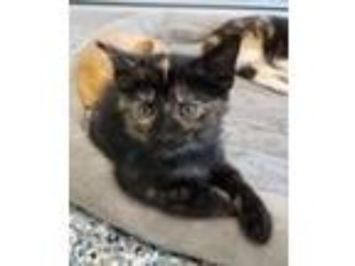 Adopt Gizmo a Domestic Shorthair / Mixed (short coat) cat in Angola