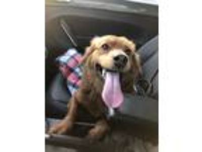 Adopt Zoey a Red/Golden/Orange/Chestnut - with Black Corgi / Retriever (Unknown