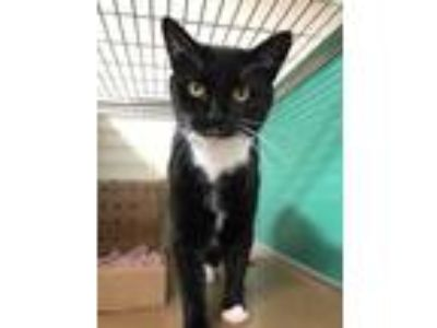 Adopt Betty a All Black Domestic Shorthair / Domestic Shorthair / Mixed cat in