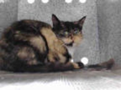 Adopt CHARLIE a Tortoiseshell Domestic Shorthair / Mixed (short coat) cat in