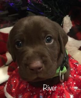 Labrador Retriever PUPPY FOR SALE ADN-107522 - Lab puppies