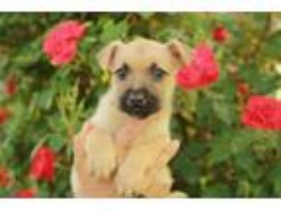Adopt Puppy Jackie a German Shepherd Dog