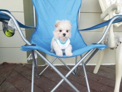 Maltese PUPPY FOR SALE ADN-108954 - Tiny Teacup Maltese Girl