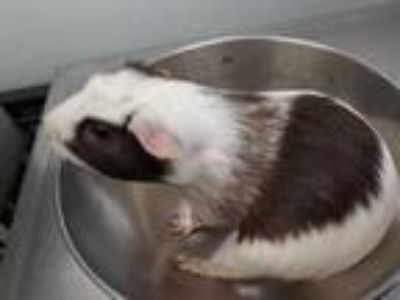 Adopt May a White Guinea Pig / Mixed small animal in Washington, DC (25351468)