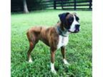 Adopt Serena a Brindle - with White Boxer / Mixed dog in Brentwood