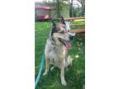 Adopt Leo a Brown/Chocolate - with Tan Husky / Mixed dog in Elmsford