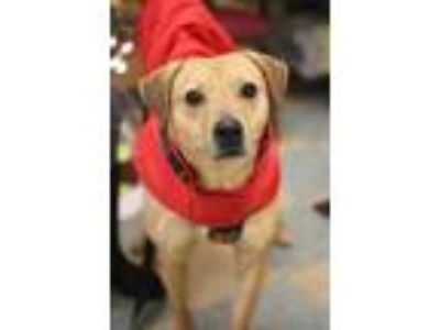 Adopt Jase a Tan/Yellow/Fawn Hound (Unknown Type) / Mixed dog in Ottumwa