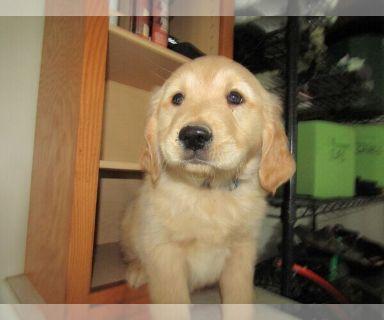 Golden Retriever PUPPY FOR SALE ADN-128476 - Golden Retriever Pups