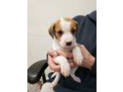 Adopt Stephie a Tan/Yellow/Fawn - with White Beagle / Hound (Unknown Type) /