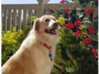 Adopt Poppy a Golden Retriever