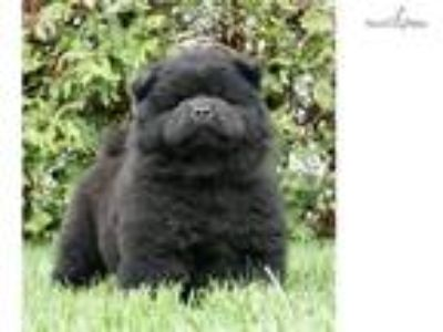 AKC TC Super Nice Chow chow puppy ready to go