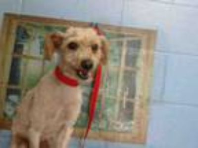 Adopt A525116 a Poodle, Mixed Breed