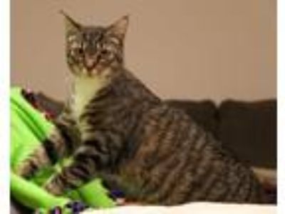 Adopt Butch a Brown Tabby Domestic Shorthair (short coat) cat in Charlotte