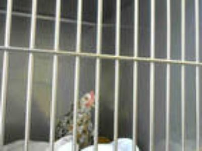 Adopt DON HENLEY a Brown Chicken / Mixed bird in Santa Cruz, CA (23374518)