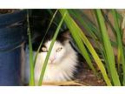 Adopt ViVi a Black & White or Tuxedo Maine Coon / Mixed cat in Murrieta