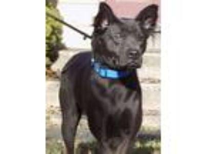 Adopt Ollie a Chow Chow, Labrador Retriever