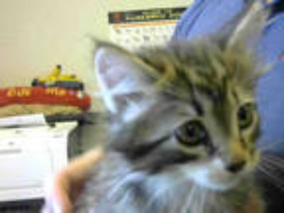 Adopt a Brown Tabby Domestic Mediumhair / Mixed (medium coat) cat in Sacramento