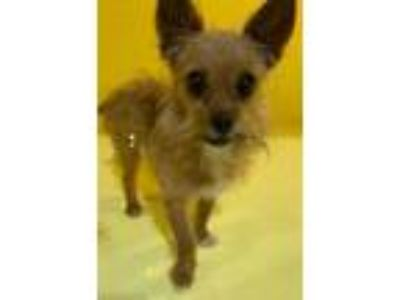 Adopt Mister a Yorkshire Terrier, Terrier