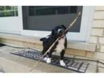 Adopt Lucas a Black - with White Terrier (Unknown Type, Medium) / Mixed dog in
