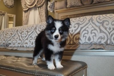 Pomsky PUPPY FOR SALE ADN-93796 - Pomsky puppies