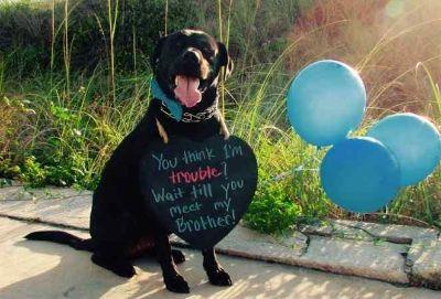 Labrador Retriever Mix DOG FOR ADOPTION ADN-102664 - Black Lab Retriever to adopt  in Jacksonville FL