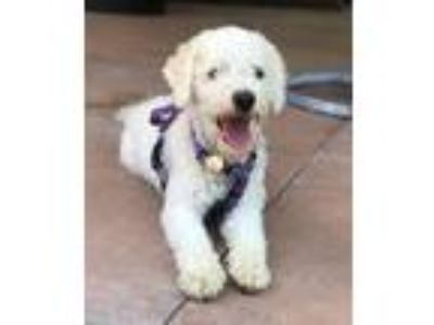 Adopt Lenny a White Bichon Frise / Mixed dog in Placentia, CA (25551425)