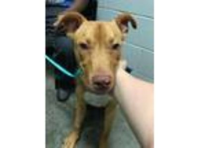 Adopt Chic a Boxer, Mixed Breed