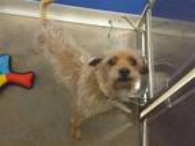 Adopt TOBY a Red/Golden/Orange/Chestnut Rat Terrier / Mixed dog in Murray