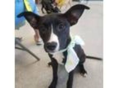 Adopt Jessie a American Staffordshire Terrier, Pit Bull Terrier