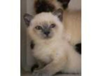 Adopt Nala a Cream or Ivory Siamese / Domestic Shorthair / Mixed cat in Bowling