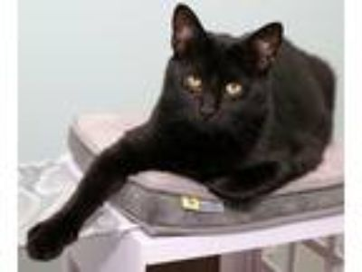 Adopt Charlie a All Black Domestic Shorthair (short coat) cat in Charlotte
