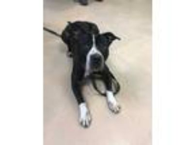 Adopt Lucy a Black - with White Pit Bull Terrier / Mixed dog in Walden