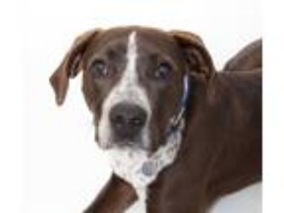 Adopt Axl a Border Collie / Pointer / Mixed dog in San Luis Obispo