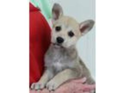 Adopt Sassy 30560 a Tan/Yellow/Fawn - with Black Shepherd (Unknown Type) / Mixed