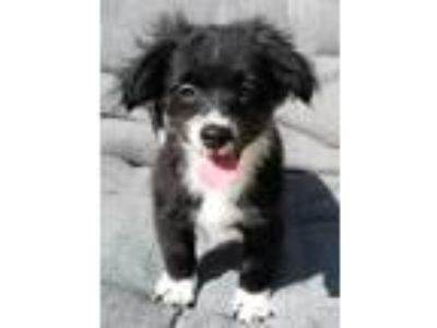 Adopt Lexington a Black - with White Brussels Griffon / Poodle (Miniature) /