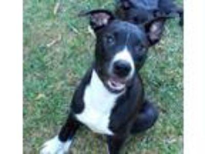 Adopt Shaila a Border Collie, Rottweiler