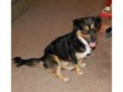 Adopt Mollie Lee a Corgi, Border Collie