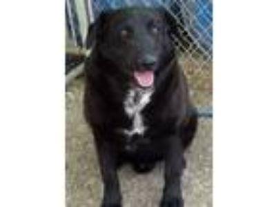 Adopt Chase a Black Labrador Retriever