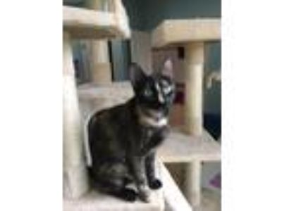 Adopt Ahsoka a Tortoiseshell Domestic Shorthair (short coat) cat in Marietta