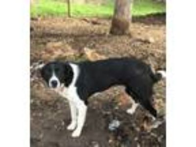 Adopt Tater a Border Collie