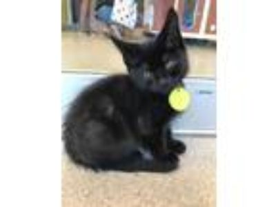 Adopt Coal a All Black Domestic Shorthair / Domestic Shorthair / Mixed cat in