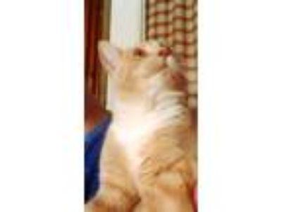 Adopt Boyo a Cream or Ivory (Mostly) Domestic Shorthair / Mixed cat in Atlanta