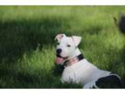 Adopt Lyanna - ADOPTION PENDING! a White - with Black American Pit Bull Terrier